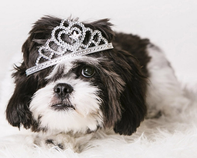 A studio photograph of a black and white dog wearing a silver tiara on its head.