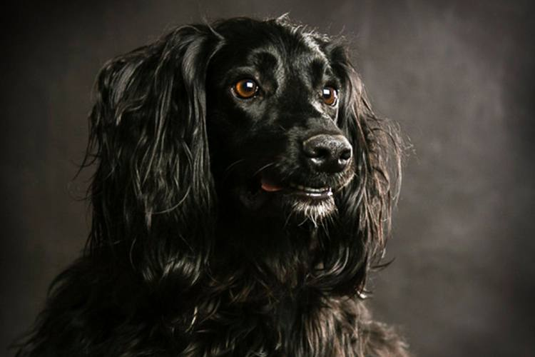 A black spaniel on black background