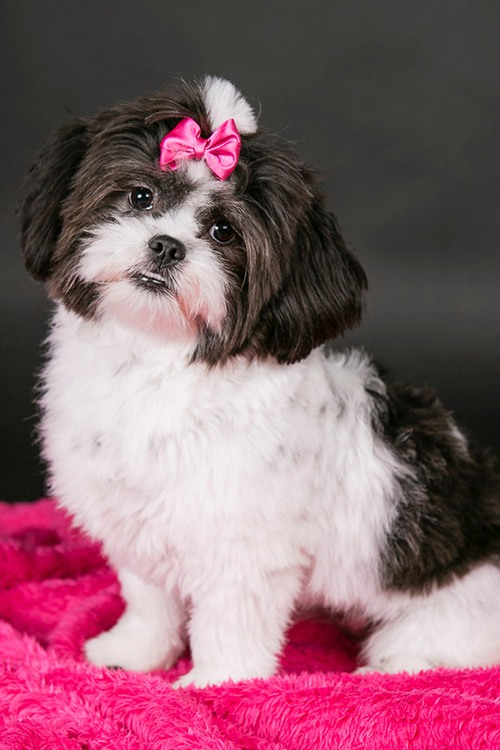 Dog wearing a pink bow.